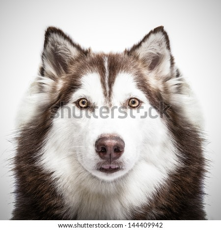 siberian husky studio shoot. - stock photo