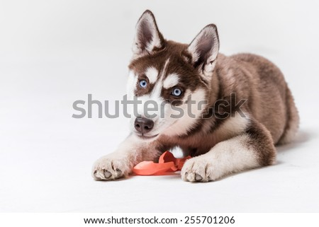 Siberian Husky Utah playing with Balloon