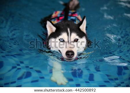 Siberian husky wear life jacket in swimming pool, dog swimming, happy dog, dog activity - stock photo
