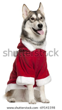 Siberian Husky wearing Santa outfit, 7 months old, sitting in front of white background - stock photo