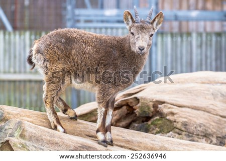 Siberian ibex youngling staring into the camera - stock photo