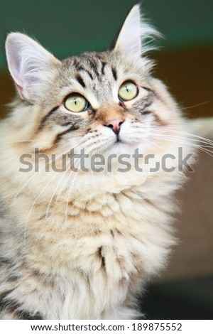 siberian kitten at six months, brown version