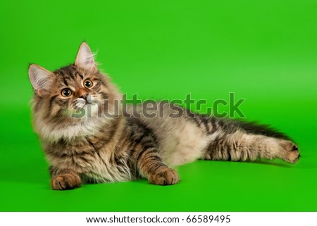 Siberian kitten black tiger on light green background