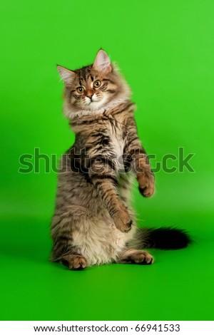 Siberian kitten black tiger on light green background - stock photo