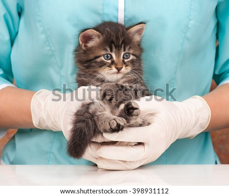 Siberian kitten recovers after an anesthesia on hands at the veterinarian