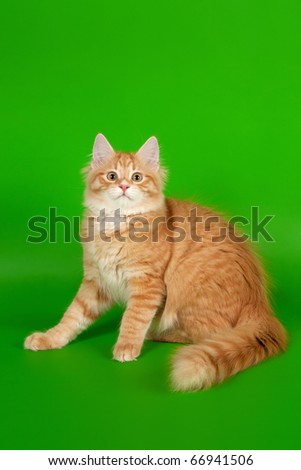Siberian kitten red tiger on light green background - stock photo