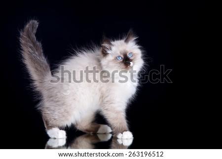 Siberian kitten standing on black - stock photo
