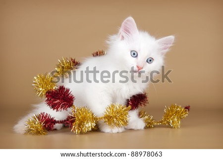 Siberian kitten waiting for Christmas party
