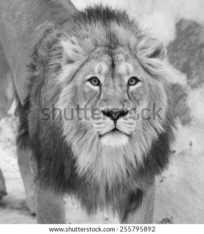 Siberian lion is looking straight into the camera. The young Asian lion on snow background. Winter cold is not bad weather for the King of beasts. Beauty of the wild nature. - stock photo