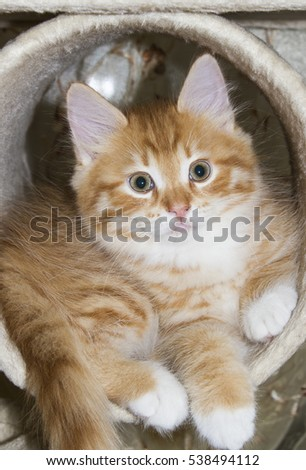 siberian little cat on the scratching post, red version