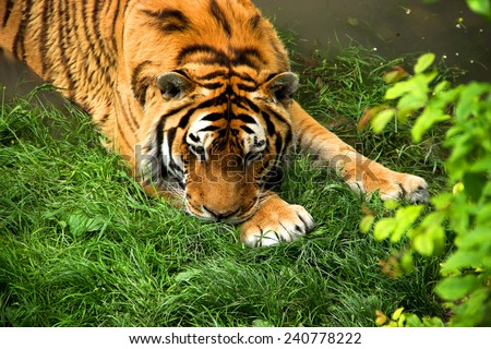 Siberian Lying Tiger in Summer Water