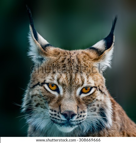 Siberian lynx  head shot - stock photo