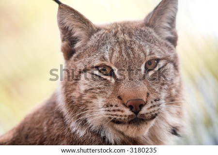 Siberian lynx kitten pays attention for a photographer - stock photo