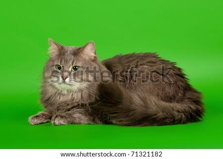 Siberian male cat blue tiger on light green background - stock photo
