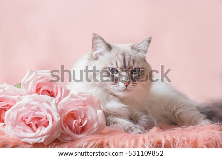 Siberian Neva masquerade cat with roses on pink background