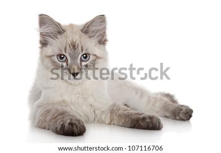 Siberian Neva Masquerade kitten lying on a white background - stock photo