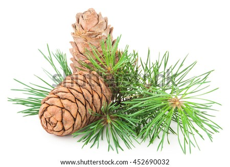 Siberian pine cone with branch