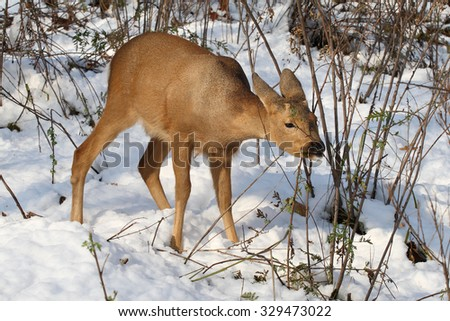 Siberian ROE deer, Capreólus pygárgus, cloven-hoofed animal of the deer family.Young deer in winter forest, deer eat tree bark, wild nature, wild animals, wild cloven-hoofed. - stock photo
