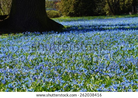 siberian squill - flower, Spring in the park - Lodz,Poland - stock photo
