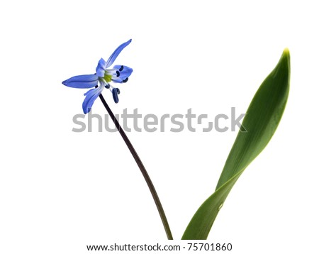 Siberian squill or Scilla siberica on a white background