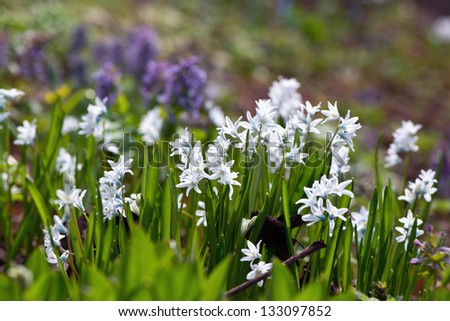 Siberian squill (Scilla siberica; wood squill) and Lucile's Glory of the snow flowers - stock photo