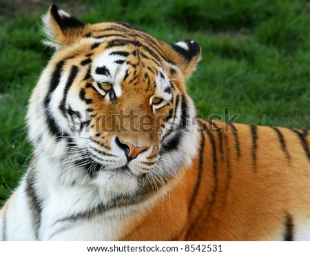 Siberian tiger - stock photo