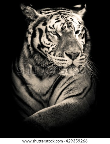 siberian tiger black and white portrait - stock photo