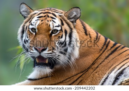 Siberian Tiger close up against a blurred background of sky and foliage/Siberian Tiger/Siberian Tiger (panthera tigris altaica)