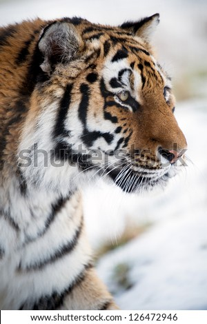 siberian tiger close up against a white background/Siberian Tiger