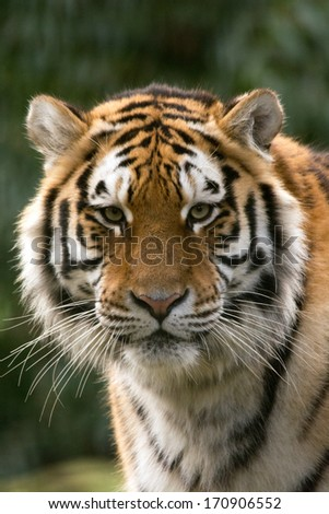 Siberian Tiger close up of head - stock photo