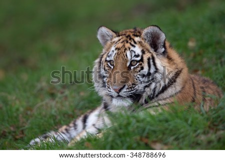 Siberian Tiger Cub resting in long green grass/Tiger Cub/Siberian Tiger Cub (Panthera Tigris Altaica) - stock photo