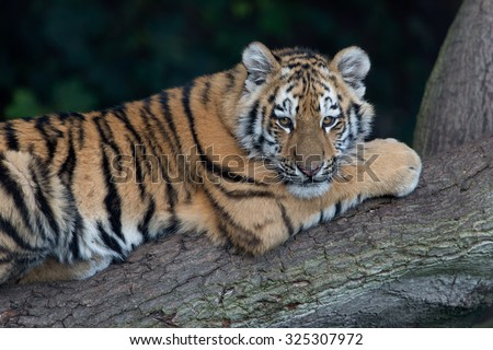 Siberian Tiger Cub resting on fallen tree in dark forest/Amur Tiger Cub/Siberian Tiger Cub(Panthera Tigris Altaica) - stock photo