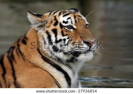 Siberian Tiger Cub with an angry expression. - stock photo