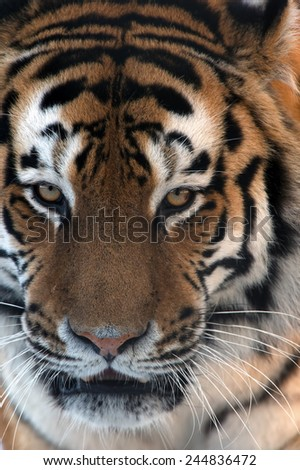 Siberian Tiger face close up/Amur Tiger Face/Siberian Tiger (Panthera Tigris Altaica) - stock photo