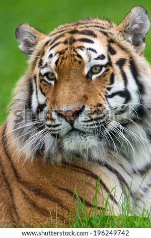 Siberian Tiger head and shoulders close up against a background of blurred green grass/Tiger/Siberian Tiger (panthera tigris) - stock photo