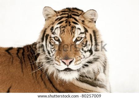 Siberian tiger head shot - stock photo
