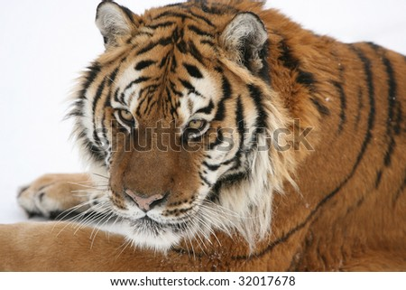 Siberian Tiger in Laying in Snow