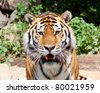 Siberian tiger in Moscow zoo - stock photo