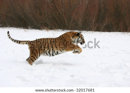 Siberian Tiger in Running in Snow - stock photo