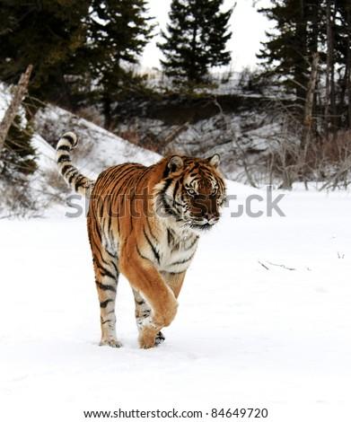 Siberian Tiger in Snow - stock photo