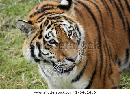 Siberian Tiger in the zoo, Panthera tigris altaica - stock photo