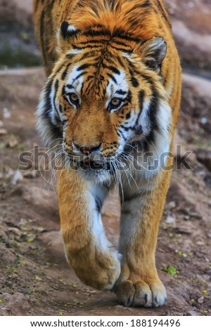 Siberian Tiger is coming - stock photo
