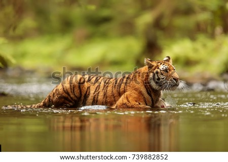 Siberian tiger is resting in the taiga creek