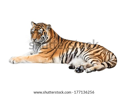 Siberian tiger isolated on white background - stock photo