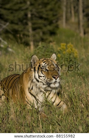 Siberian Tiger lays in the sun by the edge of the woods