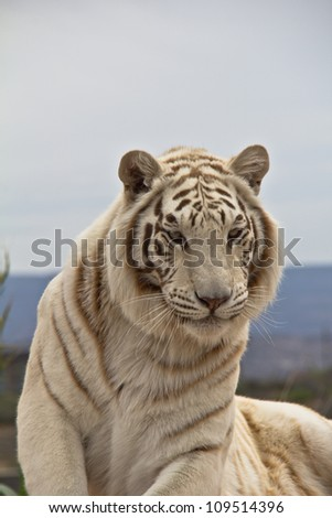 Siberian Tiger looking at camera, laying down with head and front feet up