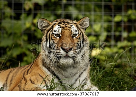 Siberian Tiger looking toward the camera.