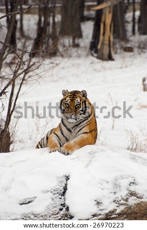 Siberian tiger lounging on a snowy rock in Harbin China. - stock photo