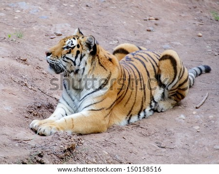Siberian tiger lying on the gray sandy ground - stock photo