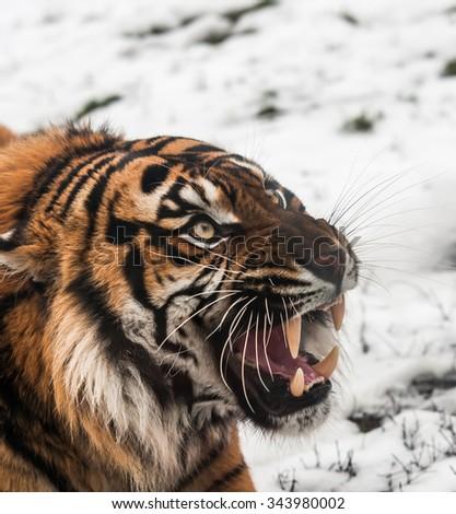 Siberian tiger on snow - stock photo